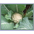 Just something in the vegetable garden.  I tied up the leaves around the cauliflower heads today ...