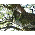 camphor tree kagoshima japan natural monument