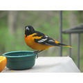oriole grapejelly bird nature