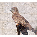 Birds france camargue blackkite carlsbirdclub