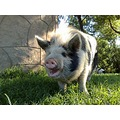 FARM ANIMALS pig saphira