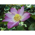 flowers flower lotus macro pink