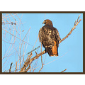 california birds redtailhawk