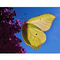 Lemon Butterfly Budleija serice flower