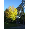 autumn tree yellow leaves