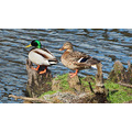 shutterlyspectacularphotography Mallards Ducks