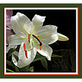 lily white gardenflower watercolor