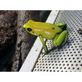 phyllobates bicolor poison arrow frog