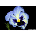 stlouis missouri us flower macro pansy portable garden mine 050510