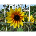 over the fence and sunflower of out of season