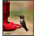 birds nature hummingbird