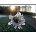 winter frost sunrise daisy