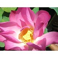 lotus flower flowers macro pink series