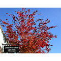 bluesky sky red tree redfph