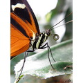 butterfly insect proboscis