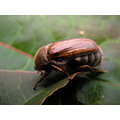maikfer beetle nature macro