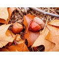 acorn acorns autumn nature holland ch1988 compautumn07