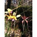 rusty spider orchid donkey orchid flowers plants nature
