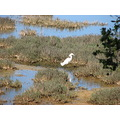 bird egret GREG