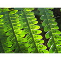 fern plant backlit