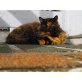 ShutterlySpectacularPhotography Feline Cat Calico
