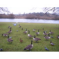 birds riverbank geese Trent Nottingham winter