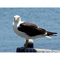 seagull sea bird animals nature chile