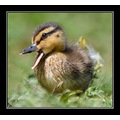 cute duckling carl bovis carlsbirdclub bird mallard nature somerset