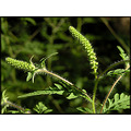 ragweed wildflower nature