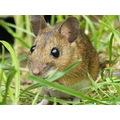 wildlife mouse
