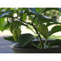 peppers habenero plant green leaves