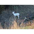 White Deer with Mother