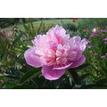 I am loving this peony that is in flower in my garden at the moment