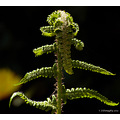 Fern please enlarge