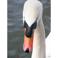 swan head water droplets