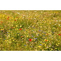 summer meadow england nature flowers poppies daisies cornflowers