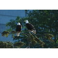 bald eagles alaska
