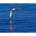 Seagull Sea Flight Wings Bird