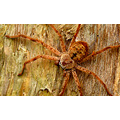 huntsman spider australian wildlife