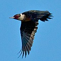lewisswoodpecker woodpecker uncommonbirds