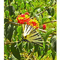 butterfly insect Turkey
