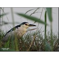 Night Heron For this one I had to go down on my knees... End of series