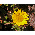 aster spring summer yellow yellowfph garden gardenfph