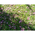 grass light shadow ipe pink flower