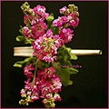 flowers pink stock scented
