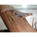 cynops ensicauda popei japanese sword tailed newt