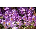 rosemoor devon crocuses