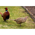 wildlife bird pheasant male female