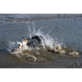 dogs sea water playing