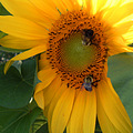 2006 black yellow flowers flower sun green insect nature landscape